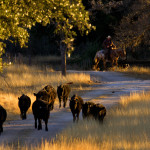Autumn on Hillingdon Ranch - bringin' in the yearlings