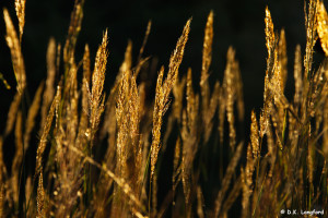 Autumn on Hillingdon Ranch - Indian grass