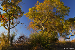 Autumn on Hillingdon Ranch - sunrise lights up Spanish oaks