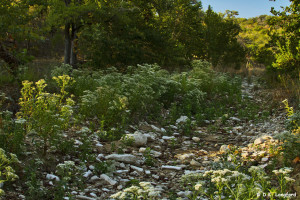 Autumn Drought at Hillingdon Ranch - white Boneset blooms in drought