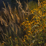 Autumn on Hillingdon Ranch - Muhly