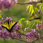 "Spring on Hillingdon Ranch - ""tiger swallowtails enjoying Mexican buckeye"""