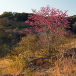 Spring on Hillingdon Ranch - Texas redbud