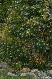Spring on Hillingdon Ranch - mountain laurel