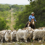 Spring on Hillingdon Ranch - Piedra Blanca herd