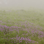 "Spring Drought - ""prairie verbena"""