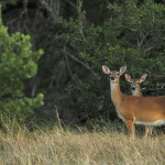 Summer on the Hillingdon Ranch - pregnant doe and yearling
