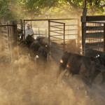 Summer on the Hillingdon Ranch - sortin' calves in the dust