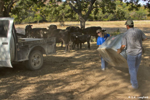 Summer Drought on Hillingdon Ranch - movin' a trough