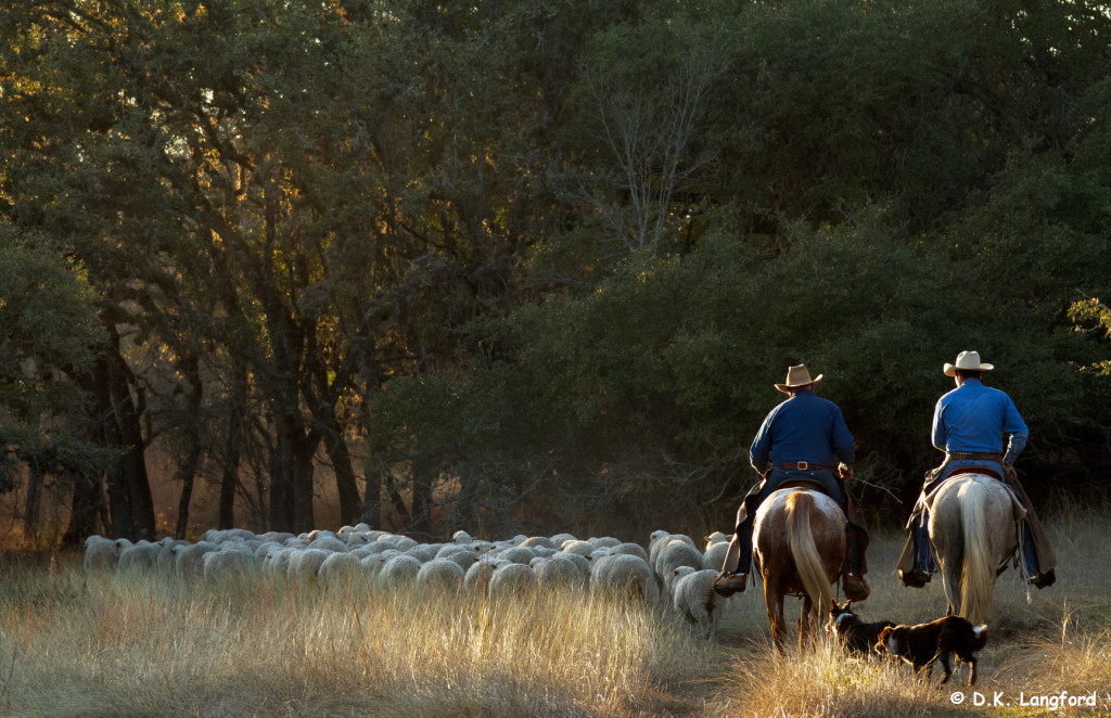 """Headed to the shearing barn"" from Hillingdon Ranch: Four Seasons, Six Generations"