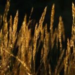 Autumn on Hillingdon Ranch - Indian grass