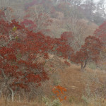"Autumn Drought on Hillingdon Ranch - ""colors in the fog"""