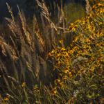 Autumn on Hillingdon Ranch - Muhly