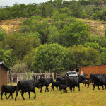 Summer on the Hillingdon Ranch - callin' the herd to the pens
