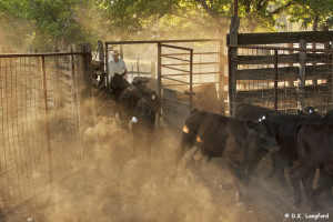 Sorting Cattle